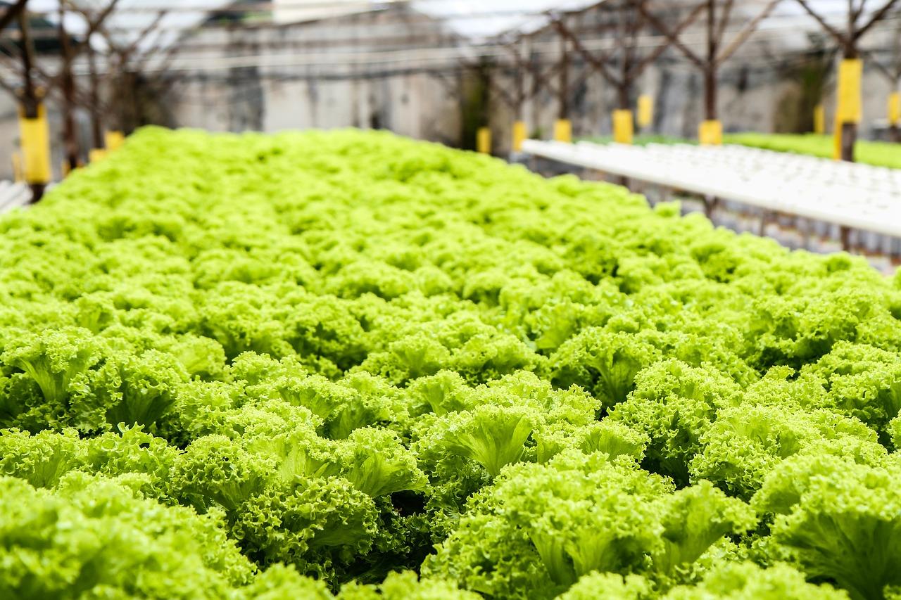 lettuce, green, vegetables-139602.jpg