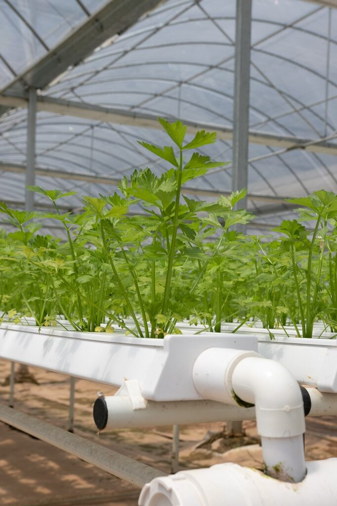 hydroponics, greenhouse, coriander-4255401.jpg